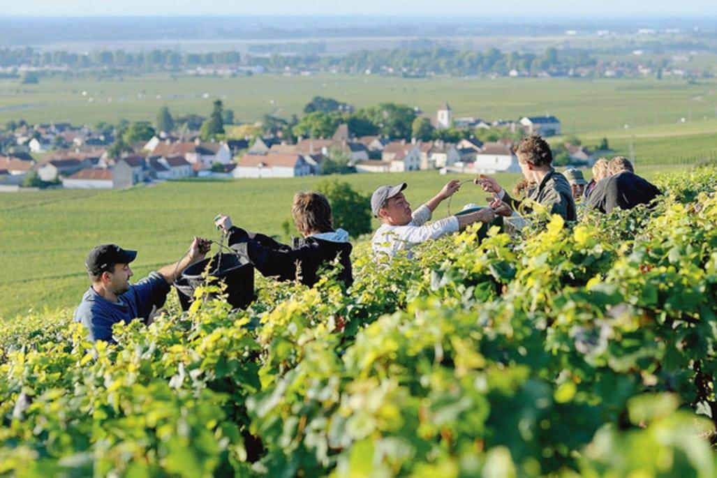 La Bourgogne en manque de vendangeurs