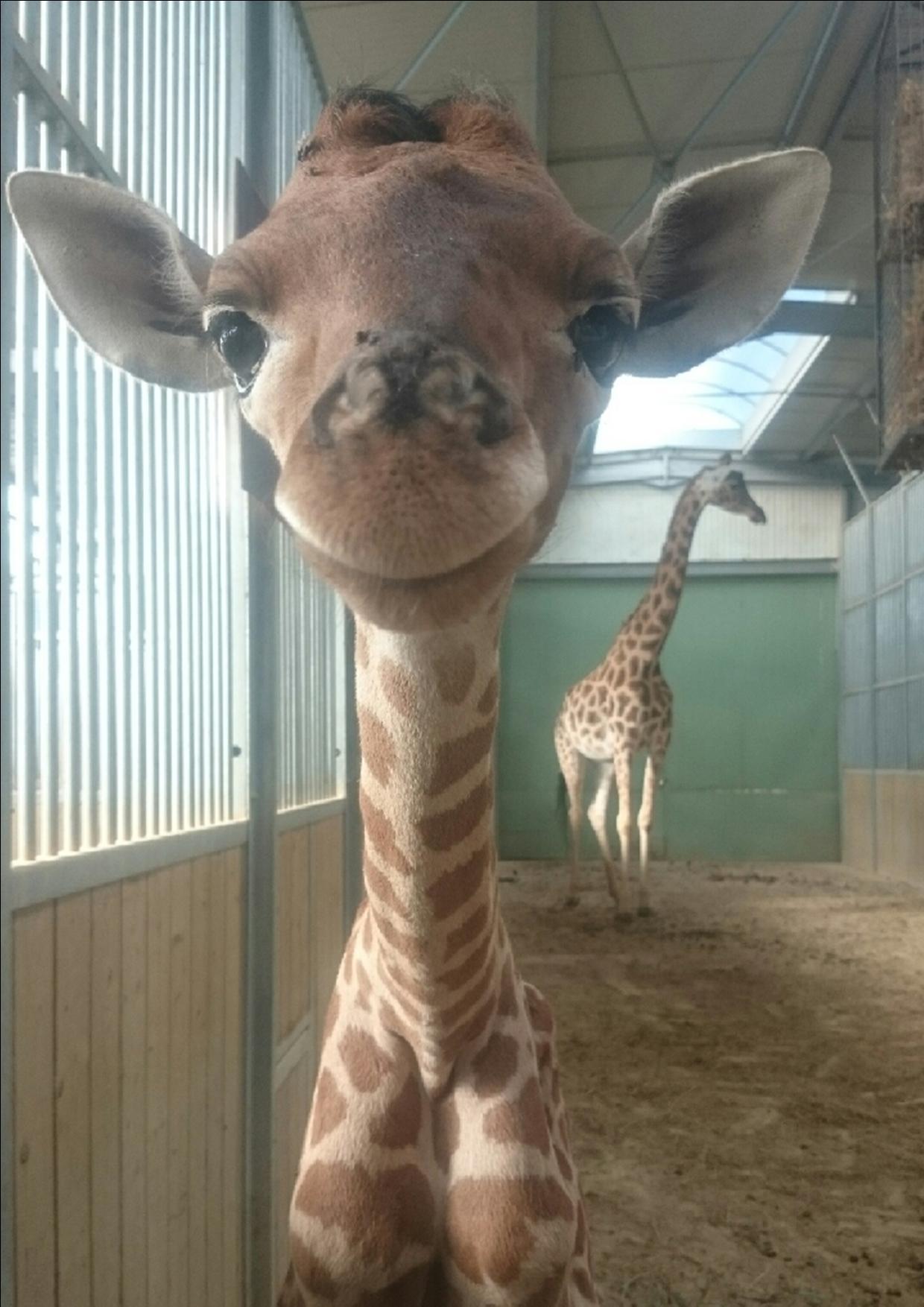 La «petite bourguignonne» qui sauve les girafes du Niger