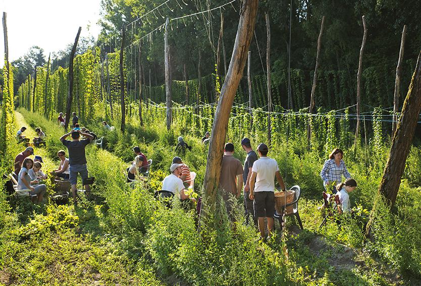 Récolte de houblon à Saint-Julien : dans les rangs du Meix d'Or Bio