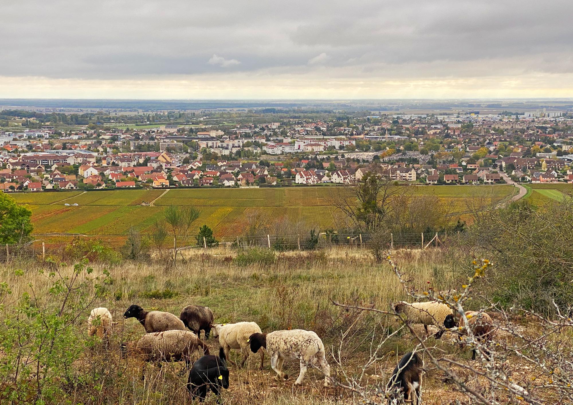 Éco-pâturage : moutons et chèvres, nouveaux protecteurs de la Montagne de Beaune